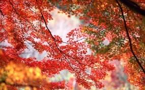 Обои Кленовые листья: Деревья, Осень, Клён, Листья, Ветки, Растения
