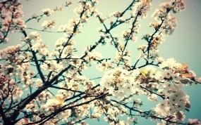 Обои Цветущяя вишня: Вишня, Ветка, Цветы, Весна, Деревья