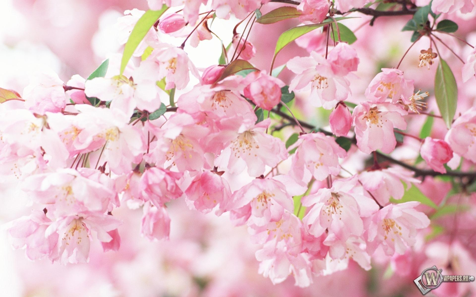 Цветение сакуры 1920x1200
