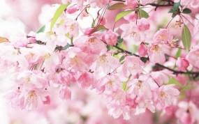 Обои Цветение сакуры: Лепестки, Весна, Цветки, Цветение, Сакура, Ветви, Деревья