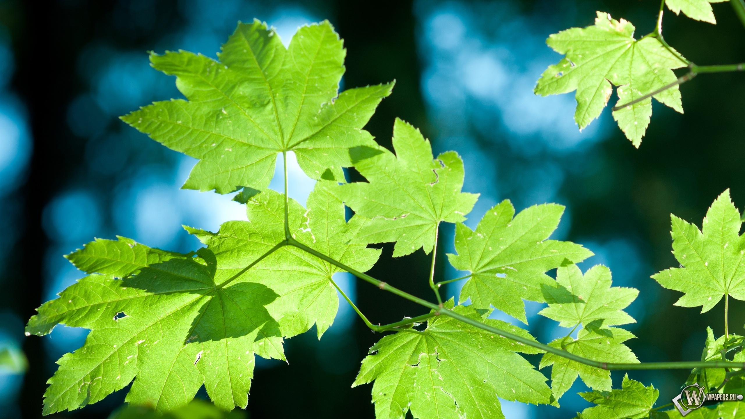 Обои зелёные кленовые листья деревья