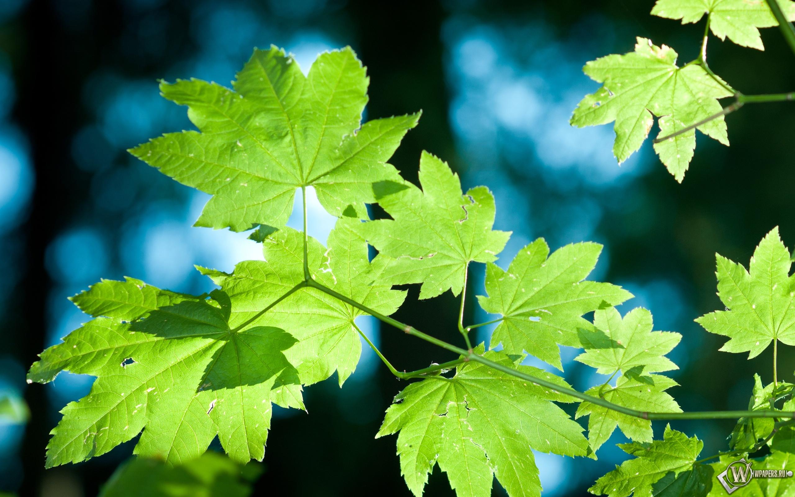 Зелёные кленовые листья 2560x1600