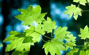 Обои Зелёные кленовые листья: Деревья, Природа, Листва, Клён, Листья, Растения, Деревья