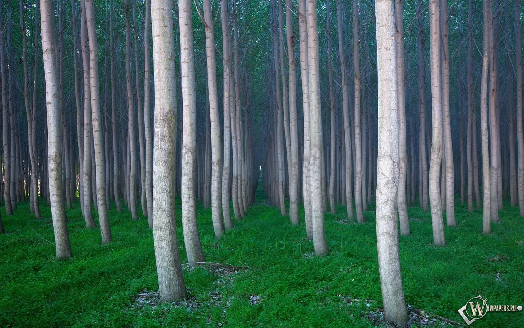 Вертикальные деревья 1680x1050