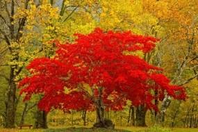 Обои Красное дерево: Лес, Природа, Дерево, Листья, Деревья