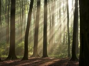 Обои Утренний лес: Лес, Деревья, Лучи, Утро, Деревья
