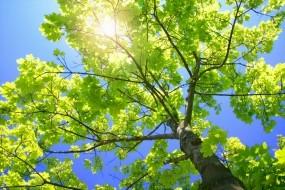 Обои Зелёное дерево: Солнце, Листва, Дерево, Ветки, Деревья