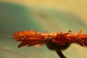 Обои Оранжевая гербера: Цветок, Роса, Деревья