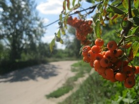 Обои Рябина у дороги: Дорога, Рябина, Деревья