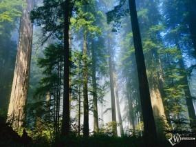 Обои Загадочный лес: Лес, Деревья, Деревья