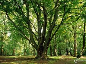 Обои Весенний лес: Лес, Дерево, Весна, Деревья