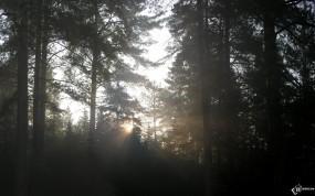 Обои Густой лес: Лес, Лес в тумане, Деревья
