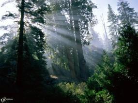 Обои Лучи солнца в лесу: Лес, Деревья, Лучи солнца, Деревья