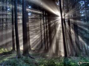 Обои Сумеречный лес: Деревья, Сосны, Старые сосны, Высокие деревья, Лучи солнца, Деревья