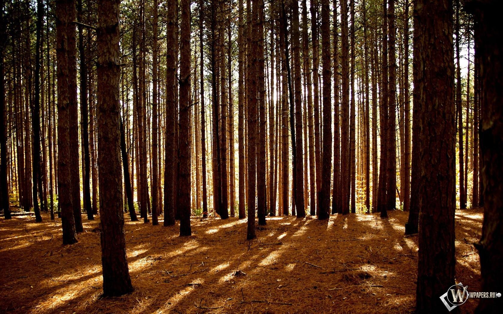 Сосновый лес 1680x1050