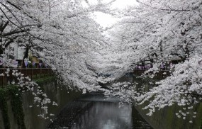Обои Сакура: Вода, Лепестки, Парк, Япония, Сакура, Деревья
