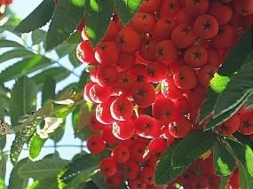 Обои Кисть рябины: Ягоды, Осень, Гроздь, Рябина, Деревья