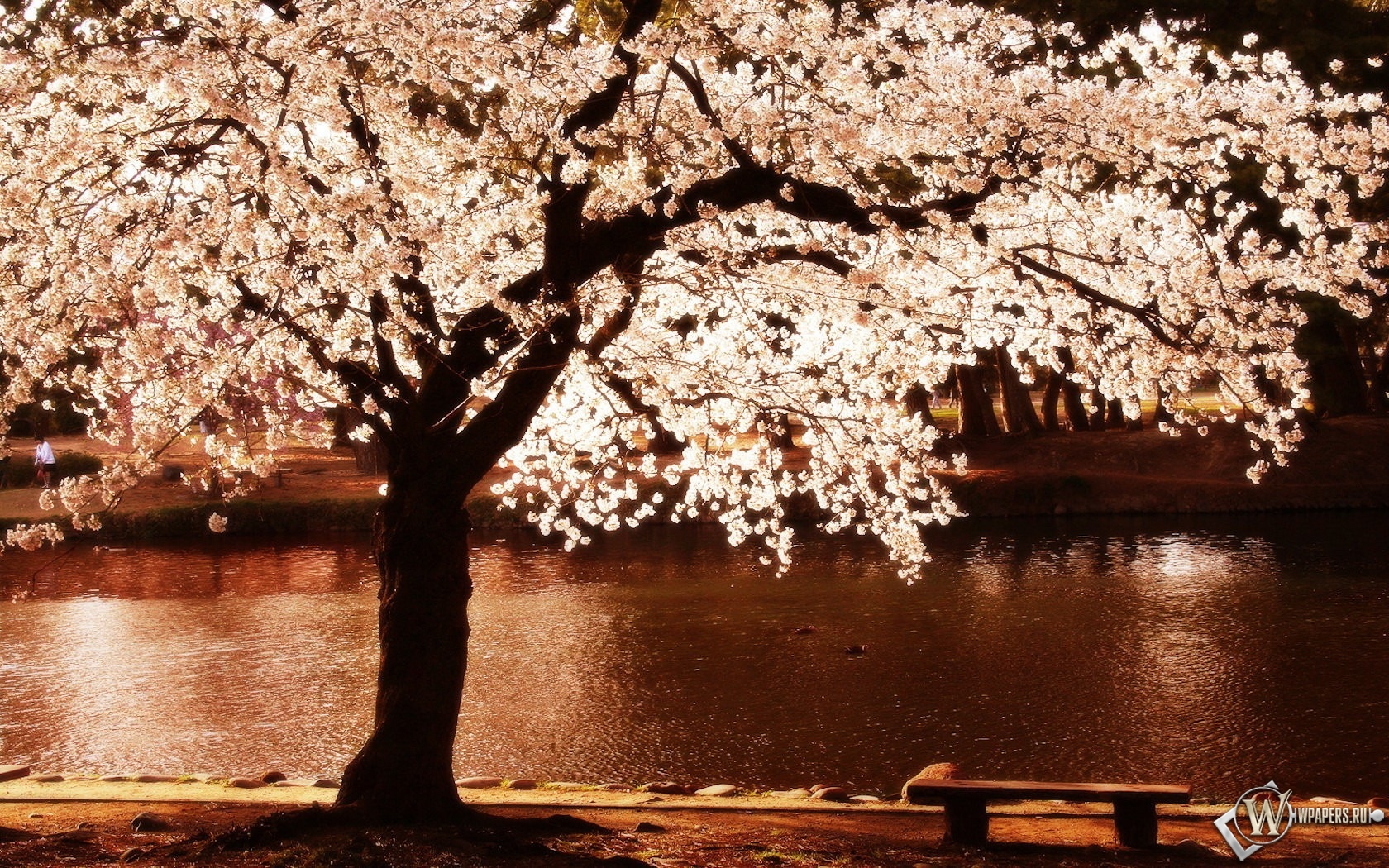 Цветущее дерево 1680x1050