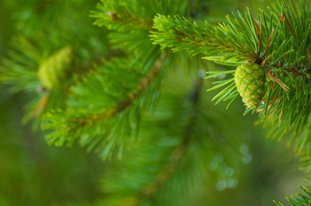 Зелёная шишка