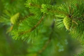 Обои Зелёная шишка: Зелень, Иголки, Шишки, Деревья