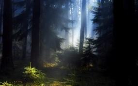 Обои Еловый лес: Лес, Красота, Сосны, Елки, Лето, Дымка, Деревья