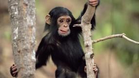 Обои Шимпанзе на дереве: Дерево, Удивление, Обезьяна, Животные