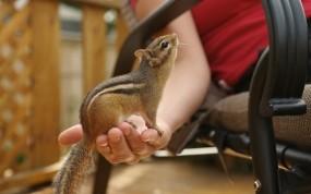 Обои Бурундук на руке: Рука, Бурундук, Животные