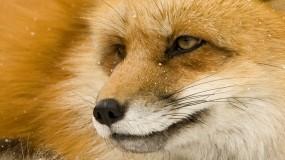 Обои Умная лиса: Глаза, Морда, Лиса, Животные