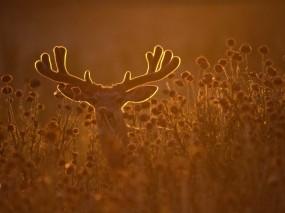 Обои Благородный олень: Трава, Олень, Рога, Прочие животные