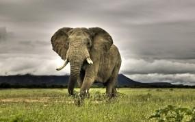 Обои Индийский слон: Трава, Небо, Слон, Животные
