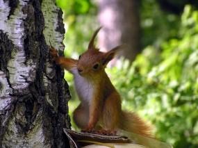 Обои Любопытная белка: Дерево, Любопытство, Белка, Животные
