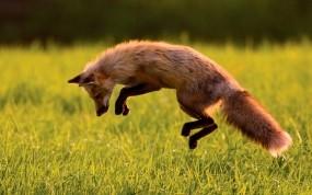 Обои Лиса на охоте: Прыжок, Лиса, Охота, Животные