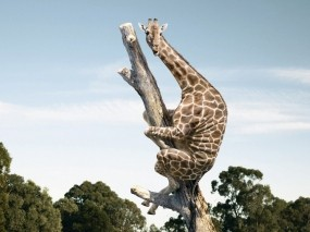 Обои Жираф на дереве: Дерево, Жираф, Страх, Животные