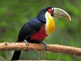Обои Тукан: Животные, Тукан, National Geographic, Птицы