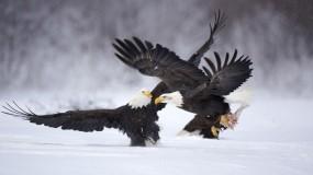 Обои Орлы: Орёл, Птицы, Животные