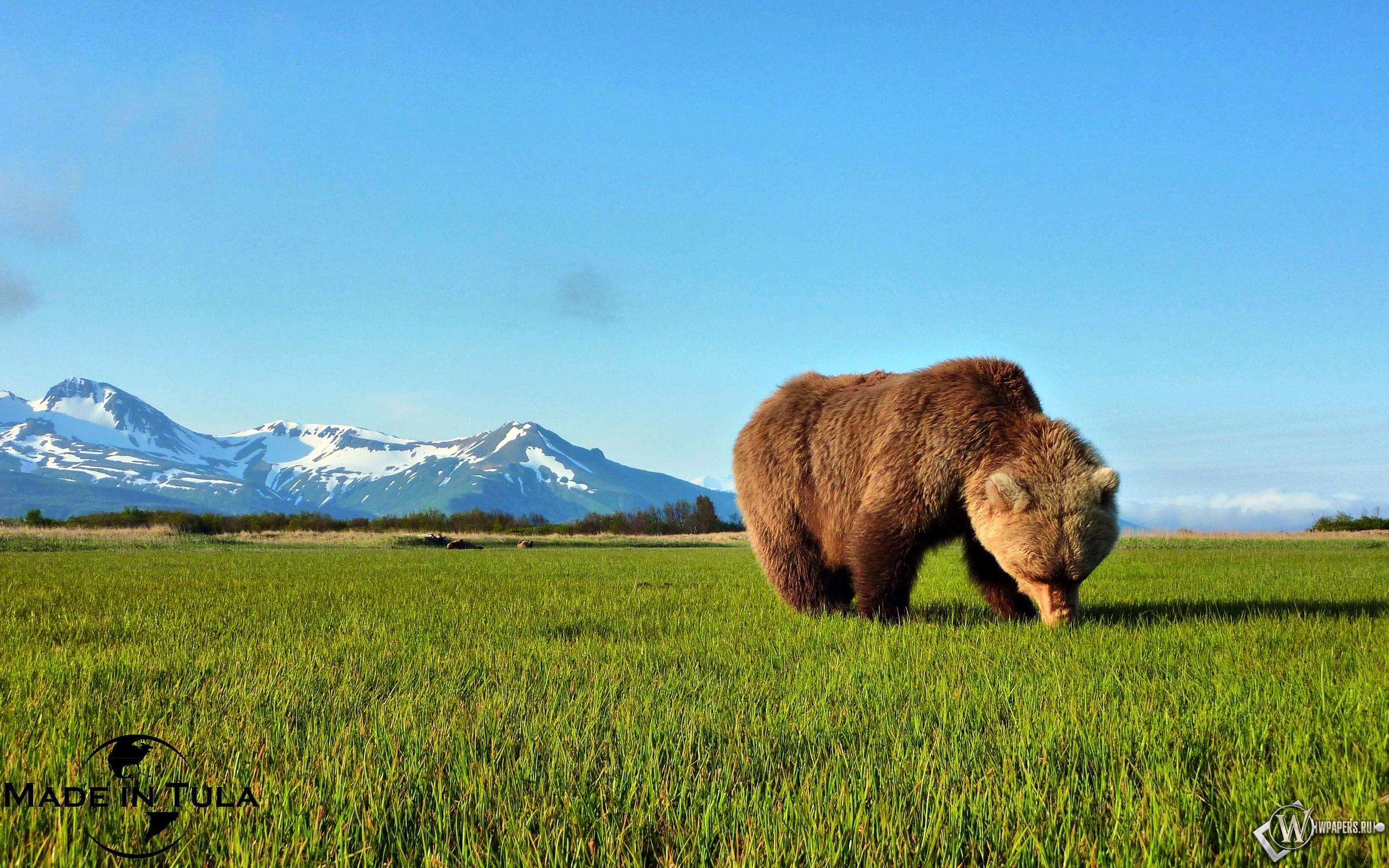 Бурый медведь 2560x1600