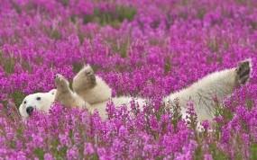 Обои Полярный медведь в цветах: Цветы, Белый медведь, Медведи