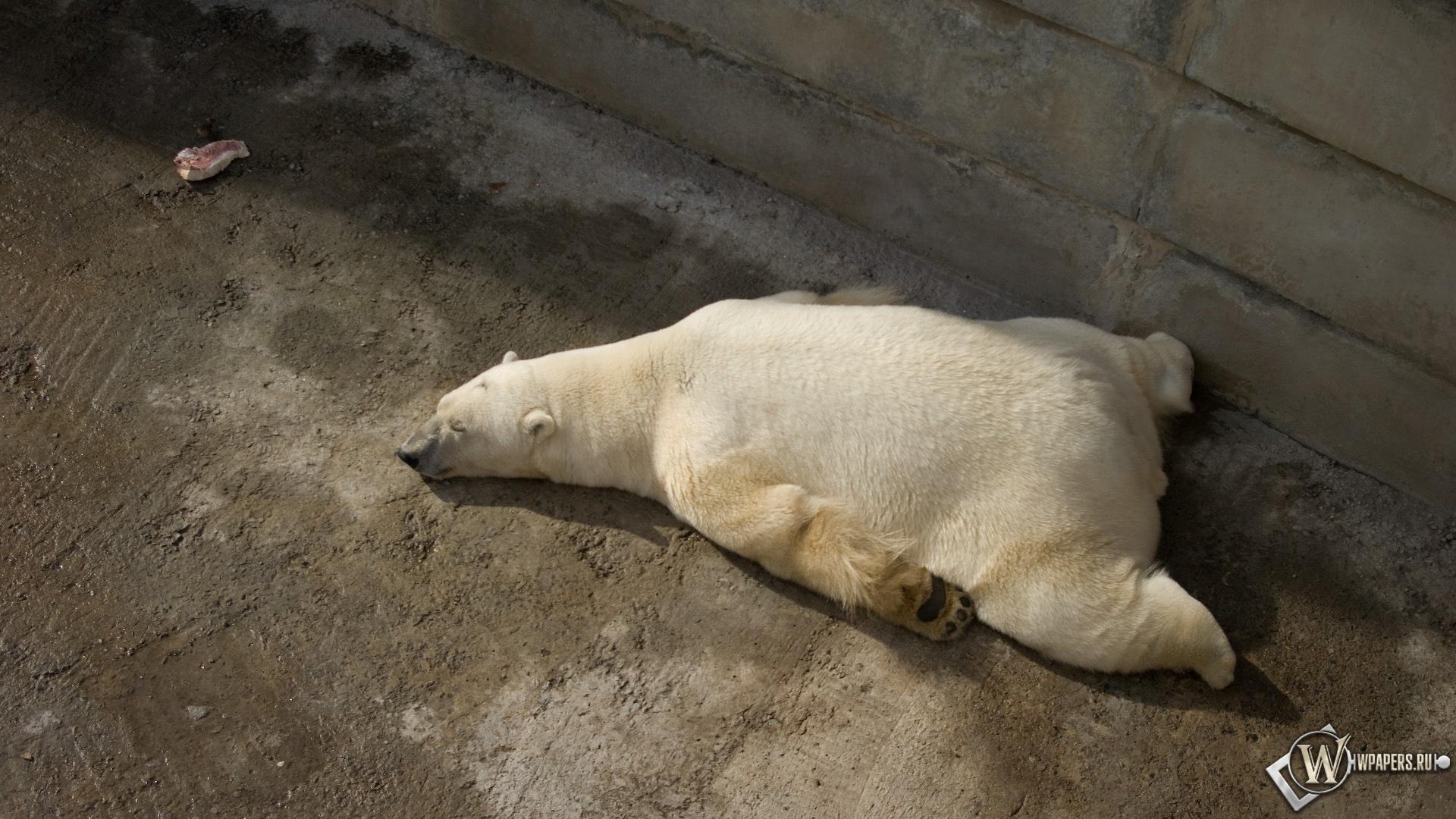 Белый медведь на отдыхе 1920x1080