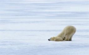 Обои Белый медведь: Лёд, Снег, Медведь, Медведи