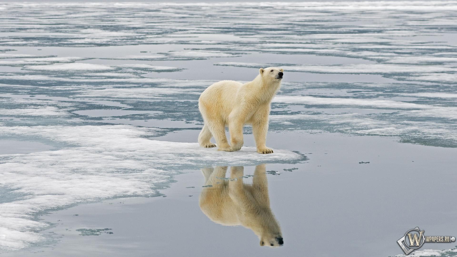 Белый медведь на льдине Свальбард Норвегия 1920x1080