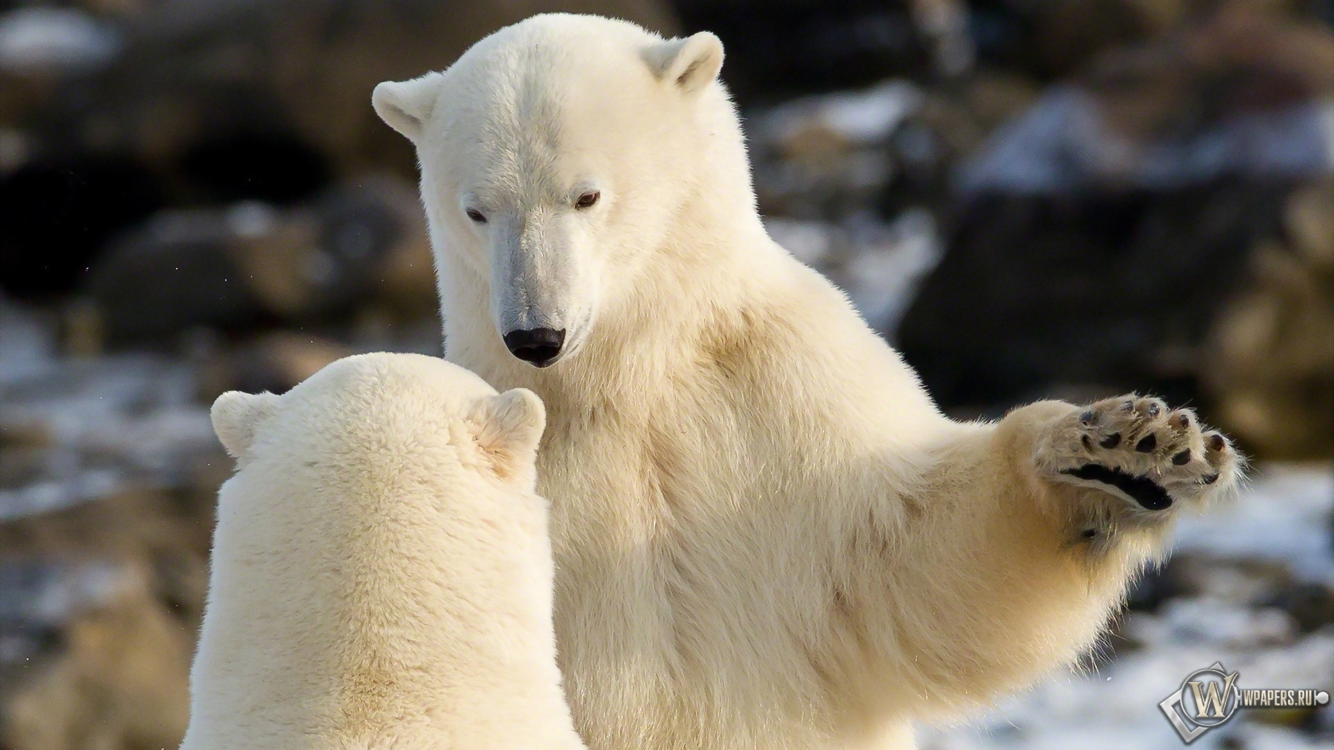 Общение белых медведей 1920x1080