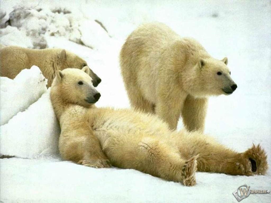 Полярный медведь отдыхает 1024x768