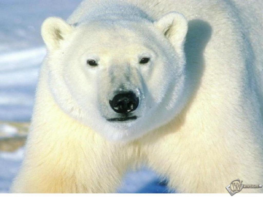 Обои полярный медведь 1024x768