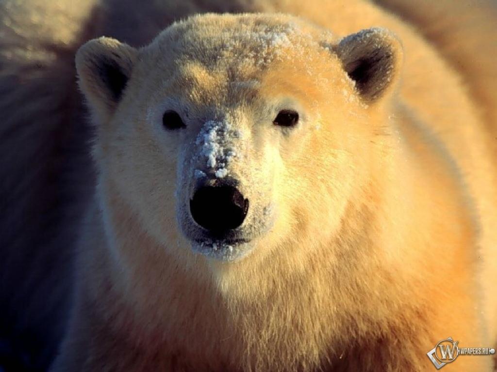 Белый медведь 1024x768