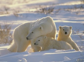 Обои Белая медведица с медвежатами: , Медведи