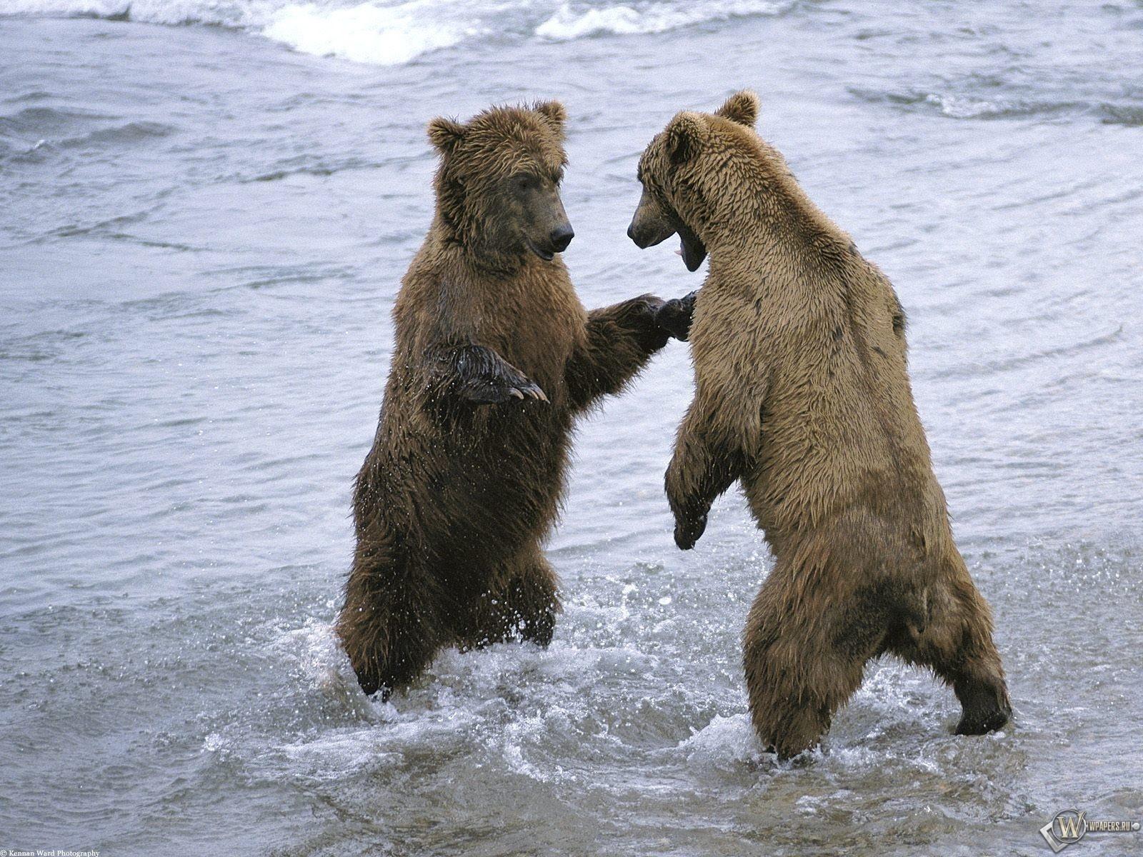 Поединок медведей 1600x1200