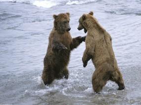 Обои Поединок медведей: , Медведи