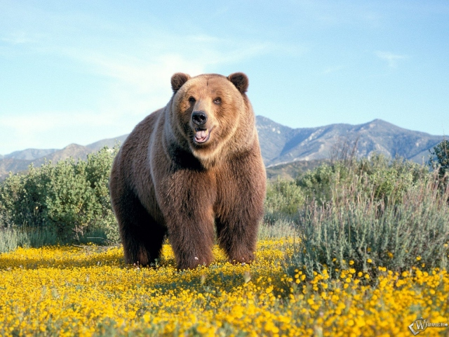 Бурый медведь на лугу
