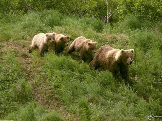 Четыре бурых медведя