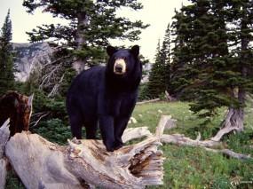 Обои Черный медведь: , Медведи